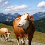 Calf_Cow_Mountain_Background_MS